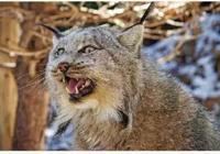 為了解山貓和家貓的區別,動物園把一隻小奶貓放進小山貓的巢穴