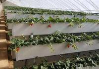 此文收藏了N種草莓立體栽培模式!總有一款適合你