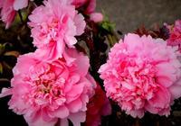 花開富貴,20種植物祝你生活樂開花