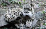 雪豹再凶猛也逃不掉貓科動物的本性,賣起萌來也融化了我的少女心