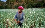 這裡的農民大量種植這種植物,是沒有人管?還是管不了?