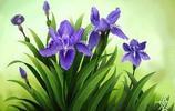 植物圖集:鳶尾植物美圖