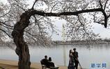華盛頓櫻花盛開