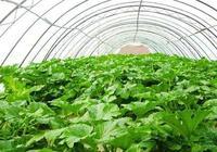 記住!這10種肥料大棚蔬菜不能使用!