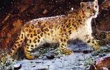 雪豹:外形特徵