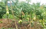 中國芒果之鄉的芒果,現在長得什麼樣了,愛吃芒果的你準備好了嗎