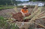 這樣的高粱才是釀造茅臺酒所需的糯高粱 能賣到3.6元每斤