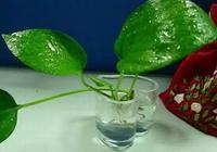一到冬天就開始黃葉萎蔫?植物水培有三樣,吊蘭綠蘿呼呼長!