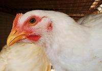 雞場怎樣防治大腸桿菌,大腸桿菌的發生有哪些流行特點?