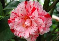 十八學士不單指茶花,還指這十八種觀賞植物,看了漲知識