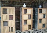 如何飼養鴿子,鴿子才會抱窩勤快