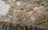 地錦草:又叫水花生,有效治療咳血,吐血,尿血,便血