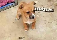 撿了一隻流浪小狗,被房東罵不準養,小狗夜裡偷偷走了!