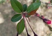 垂絲海棠和西府海棠的花有什麼區別?