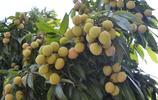 週末閒暇到荔枝園採摘荔枝伴隨相機的拍攝將豐碩的果實展現給大家