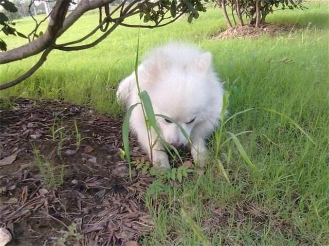 狗狗自己會治病?關於狗狗吃草的原因,您知道多少?
