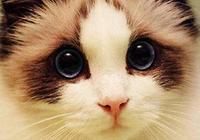 貓星人布偶貓:面具不對稱的布偶貓,是可以治癒強迫症的存在