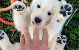萌物還有三十秒到達戰場!十三張圖片證明小金毛是世界上最可愛的狗狗!