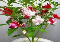 鳳仙花應該怎麼養?