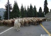 我養的羊目前是散沙一盤,請問頭羊是怎麼訓教的?