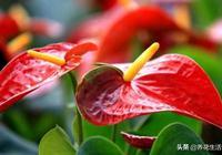"""養護紅掌用些""""渣渣水"""",7天一次花朵繁多,花色驚豔葉子油綠"""