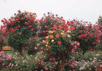 教你如何培育樹狀月季的方法,需要的朋友可以借鑑一下