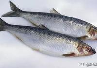 鯡魚也能有好吃的時候?別驚訝,這幾種做法保證你流口水!