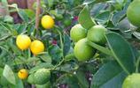 那些適合在農村門前種的果樹,好吃又有寓意,你家有幾種?