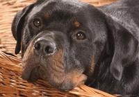 如何防止狗狗流產和早產