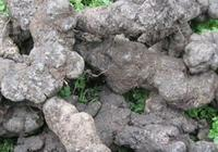 種過豬苓的地方,再種植天麻可以嗎?