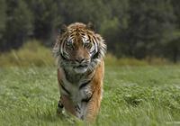 """這種貓科動物體型比老虎還大,它管老虎叫""""媽"""",數量比東北虎多"""