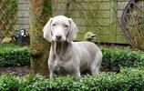 動物圖集:威瑪獵犬