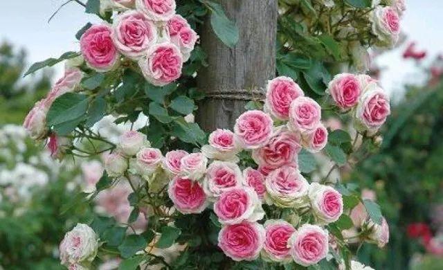 玫瑰月季傻傻分不清楚?三分鐘教你如何區分月季和玫瑰!