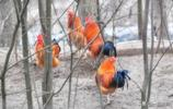 【回鄉偶得】拍了那麼多鳥,沒道理不拍雞