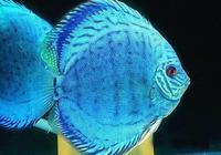 七彩神仙魚檢疫