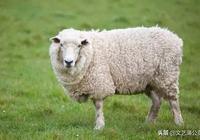 心理學:4只羊,哪隻快生羊寶寶了?測你今生最大的福運是什麼!