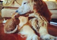 金毛想跟小橘貓做朋友,可兩次嘗試無果,第三次竟直接帶回了家