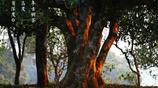茶文化|愛茶人眼中的普洱古茶樹~