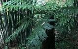 """農村深山的野樹,有""""蕨類植物之王""""讚譽,被列為國家一類保護"""
