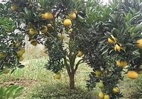 農家後院桔子黃