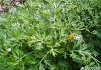 野生艾草和種植艾草有啥區別?