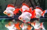 世界金魚看中國 中國金魚看福州