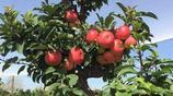 """老家院子別亂種樹,7種花開富貴的吉祥樹,圖8稱""""木中黃金"""""""