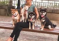 和四隻柴犬一起生活,簡直感覺分分秒秒都要被萌炸
