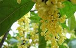 植物圖集:桂花