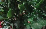 求助!養了一盆長壽花,還不知道什麼品種呢,有養過的幫忙看看吧