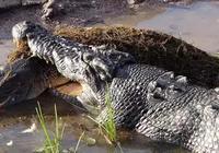 灣鱷:地球上現存最大的爬行動物