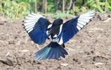 飛翔的喜鵲