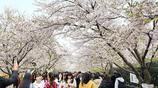 青島開啟最美櫻花季 唯美花海不輸武大 門票免費引眾多市民觀賞!