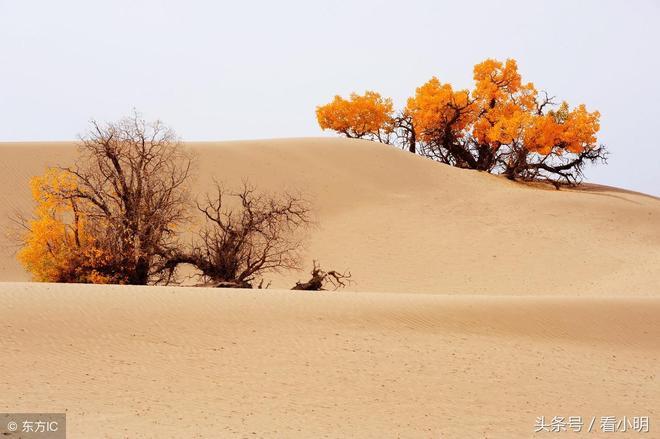 沙漠中最美麗的樹,千年不死,每年只能欣賞30天